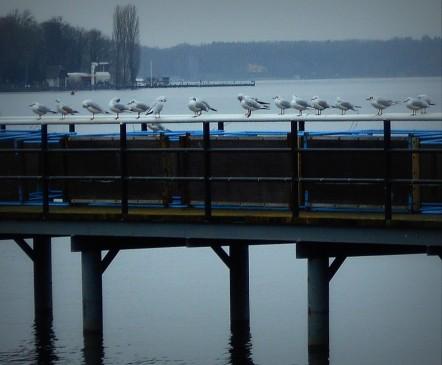 Möwen am Wannsee